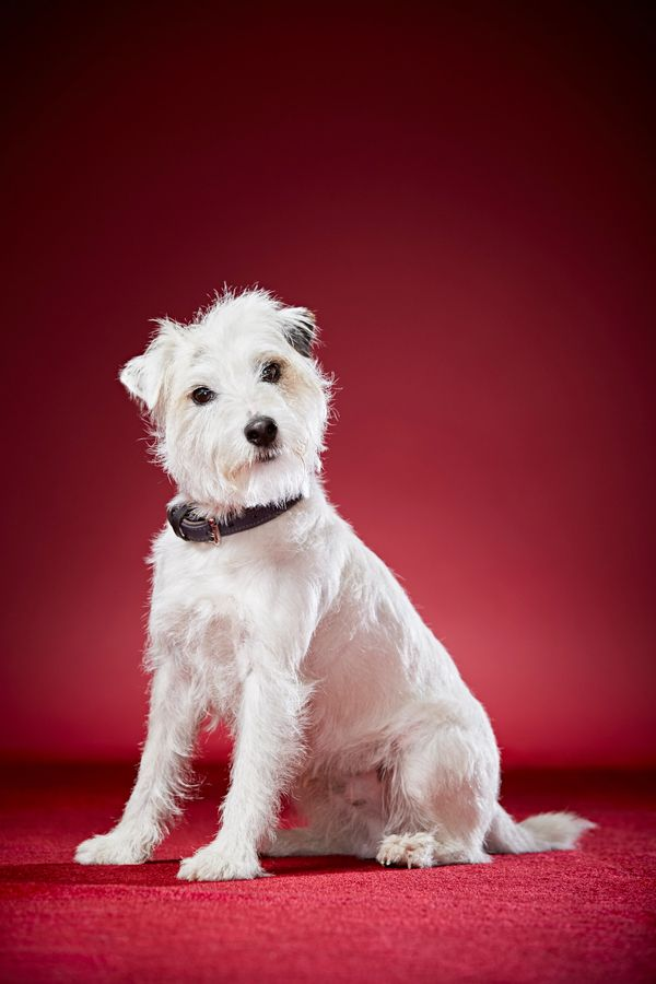 "Smurf, a Parson Russell Terrier from Hertfordshire, U.K., holds the record for <a href=""http://www.guinnessworldrecords.com/n"