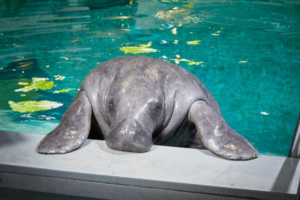 "Snooty, a manatee at the South Florida Museum in Bradenton, Florida, is <a href=""http://www.guinnessworldrecords.com/new"
