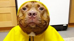 This Rescued Pit Bull's Nonstop Smile Is Completely