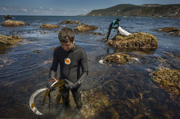 Marine scientist Alberto Sanchez, left, and biologist Sergio Baamonde collect seaweed in Ortigueira, northern