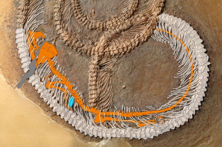 This enhanced photo of the fossil clearly shows the lizard skeleton. The bug is the blue dot.