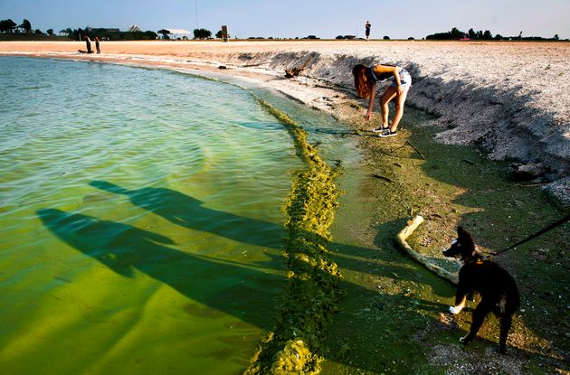 A toxic algae bloom along the shore of Lake Erie.
