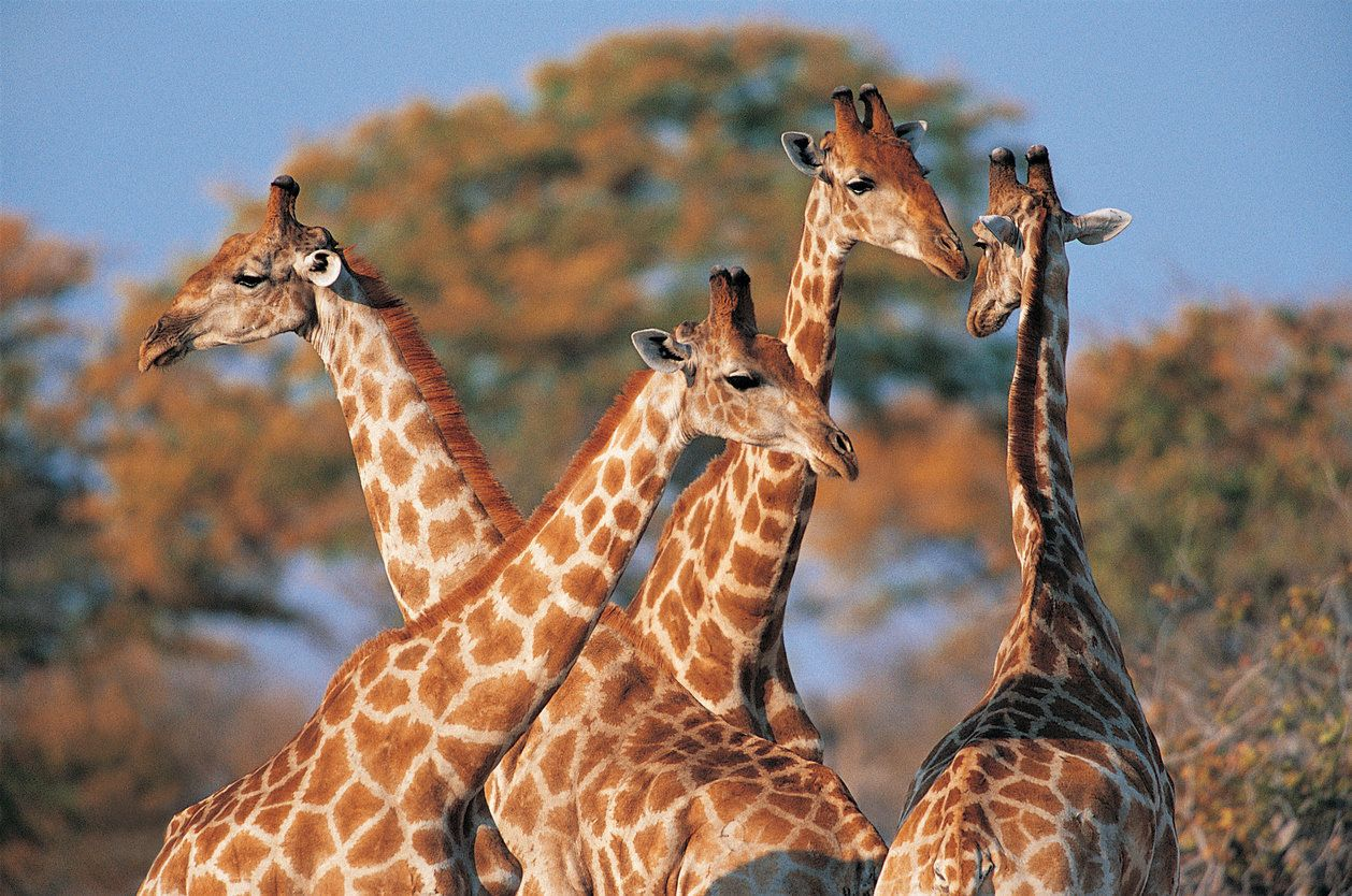Genetic differences among the four species of giraffe are comparable to those between polar bears and...