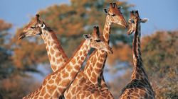 DNA Surprise! Giraffes Are Four Species, Not