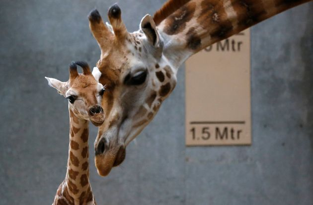 Scientists discovered that the four species of giraffe had been separated for 1 to 2 million years,...