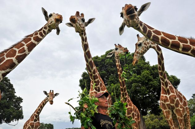 Acaretaker at the Calauit island wildlife sanctuary feeds giraffes with tree leaves in Busuanga,...