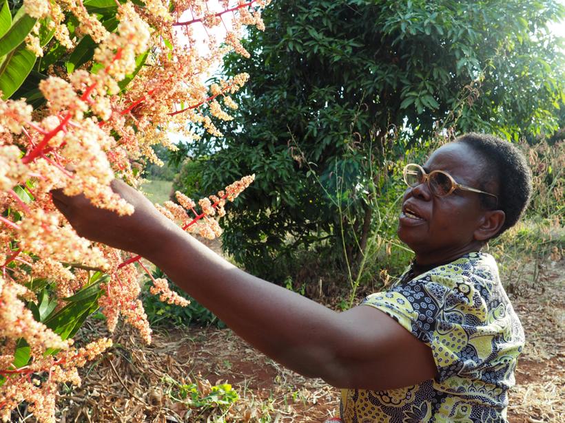 Magdalene Gachungiri examines her mango trees in the off-season
