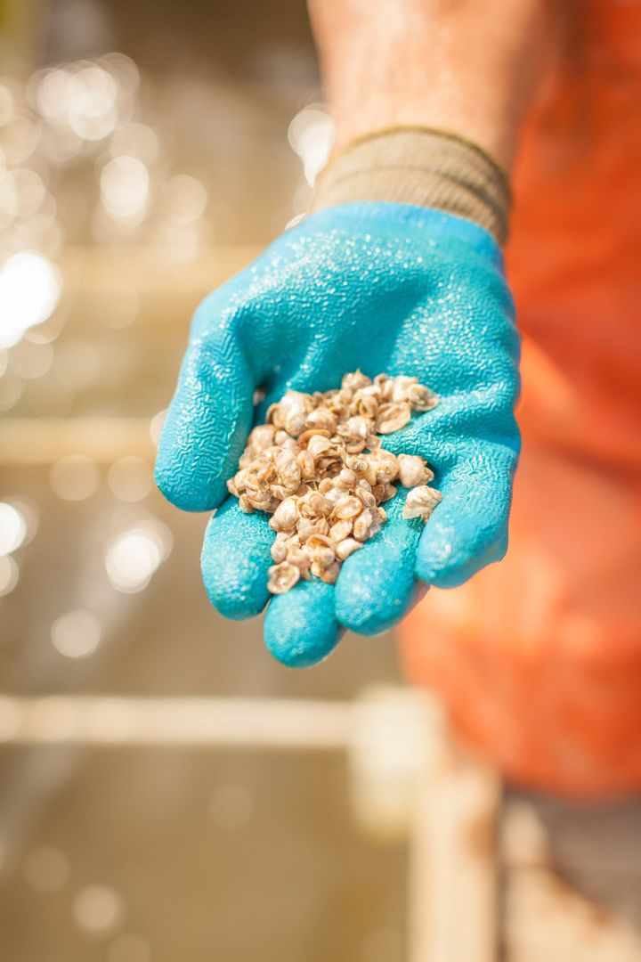 <i>Oyster seeds at 2–3 months old.</i>