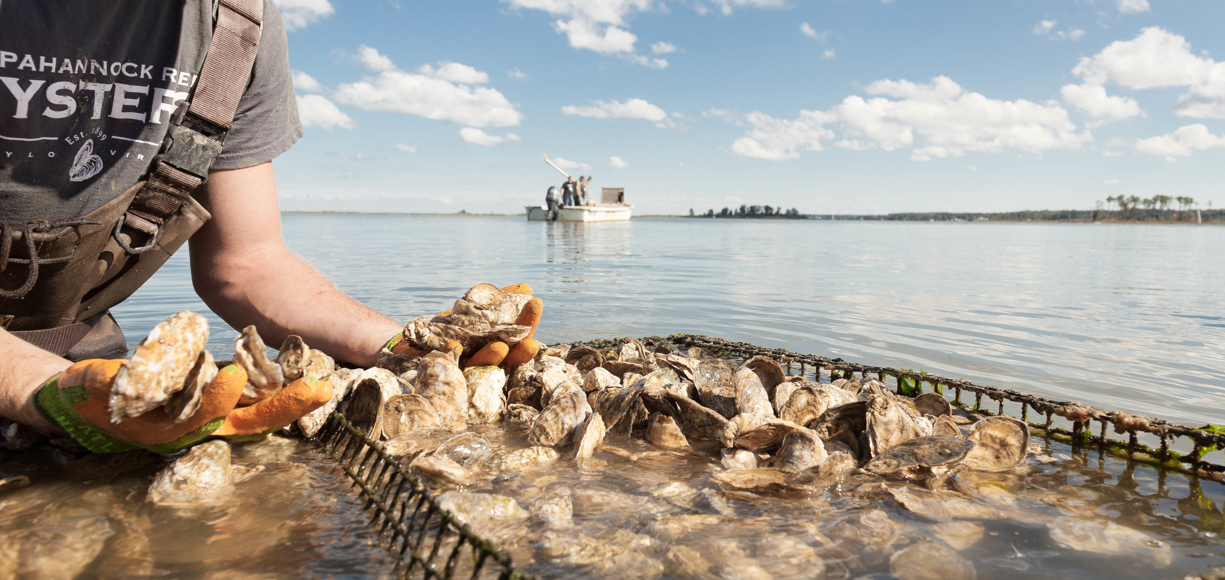 <i>Oyster farm workers check on crop health, density and quality.</i>