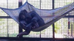These Retired Lab Chimps Are Already Loving Their New