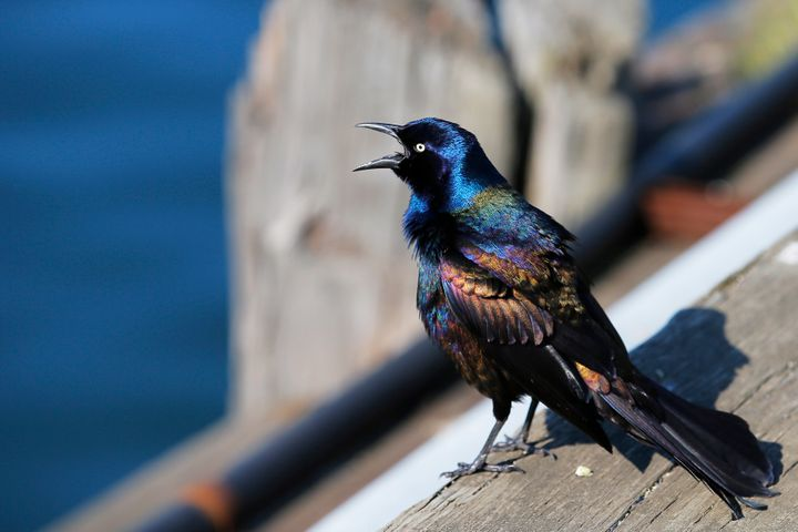 A file photo of a common grackle on a dock in Boston.
