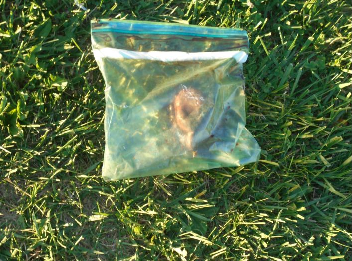 This heart, believed to belong to a human, was found in a plastic bag in Norwalk, Ohio, late last month.