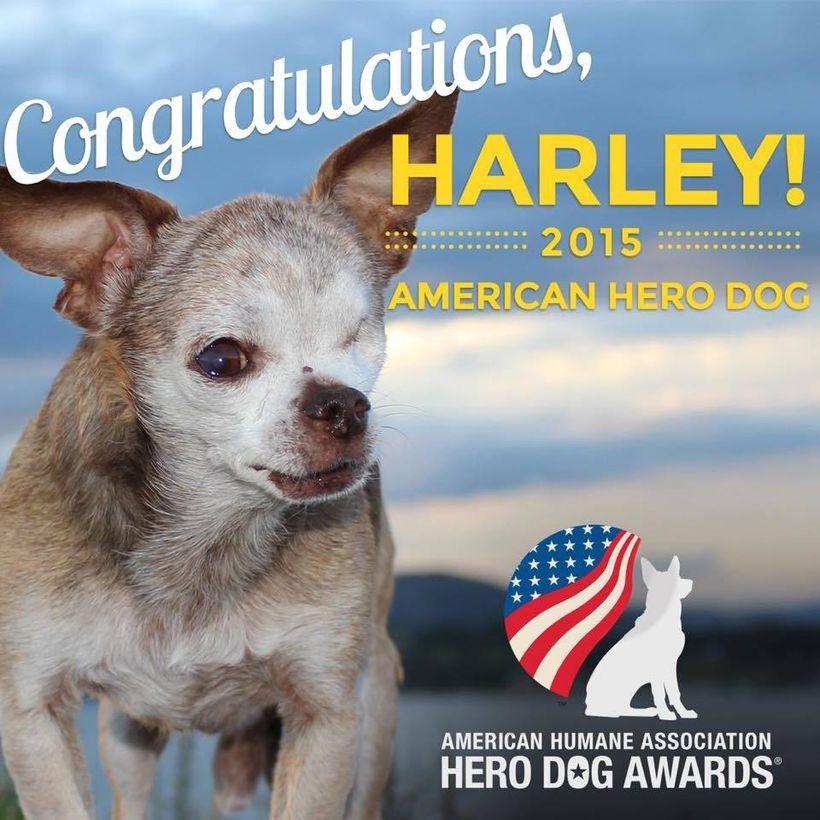 Harley, 2015 American Hero Dog