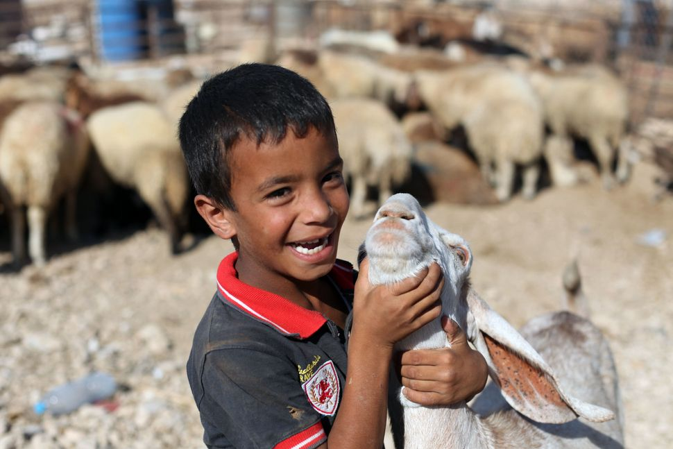 A child plays with an animal at a temporary cattle market in Zarqa, Jordan, Sept. 11, 2016.