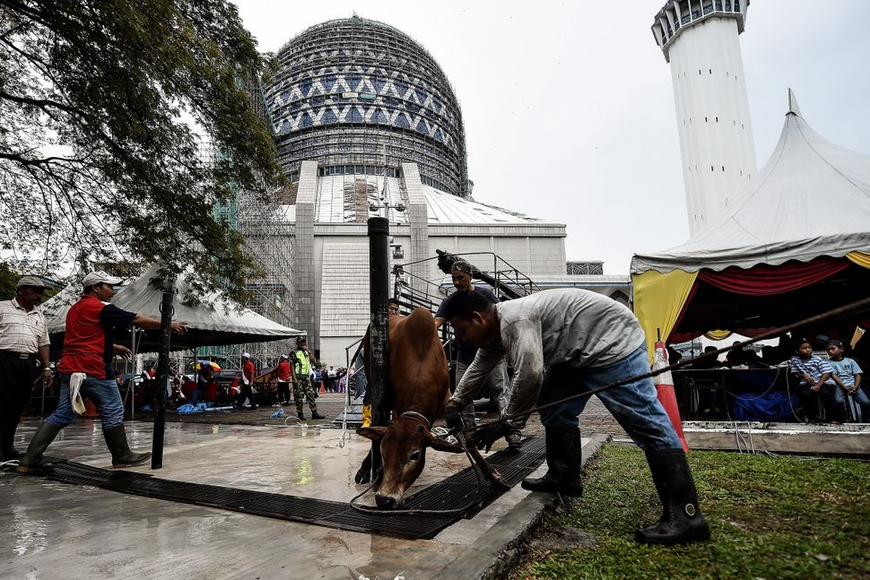 Malaysian Muslims prepare a cow for sacrifice during Eid al-Adha outside the Sultan Salahuddin Abdul Aziz mosque in Shah Alam