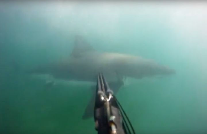 A GoPro camera, attached to the diver's speargun, captured the great white circling past him.