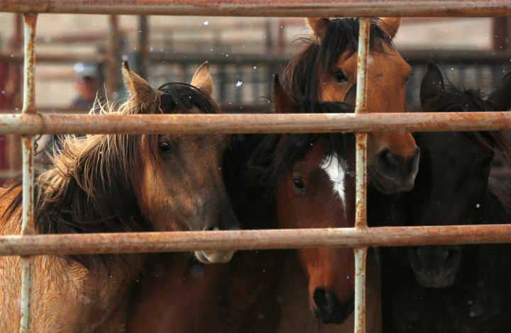Wild horses in a corral during a BLM gathering operation in 2015.