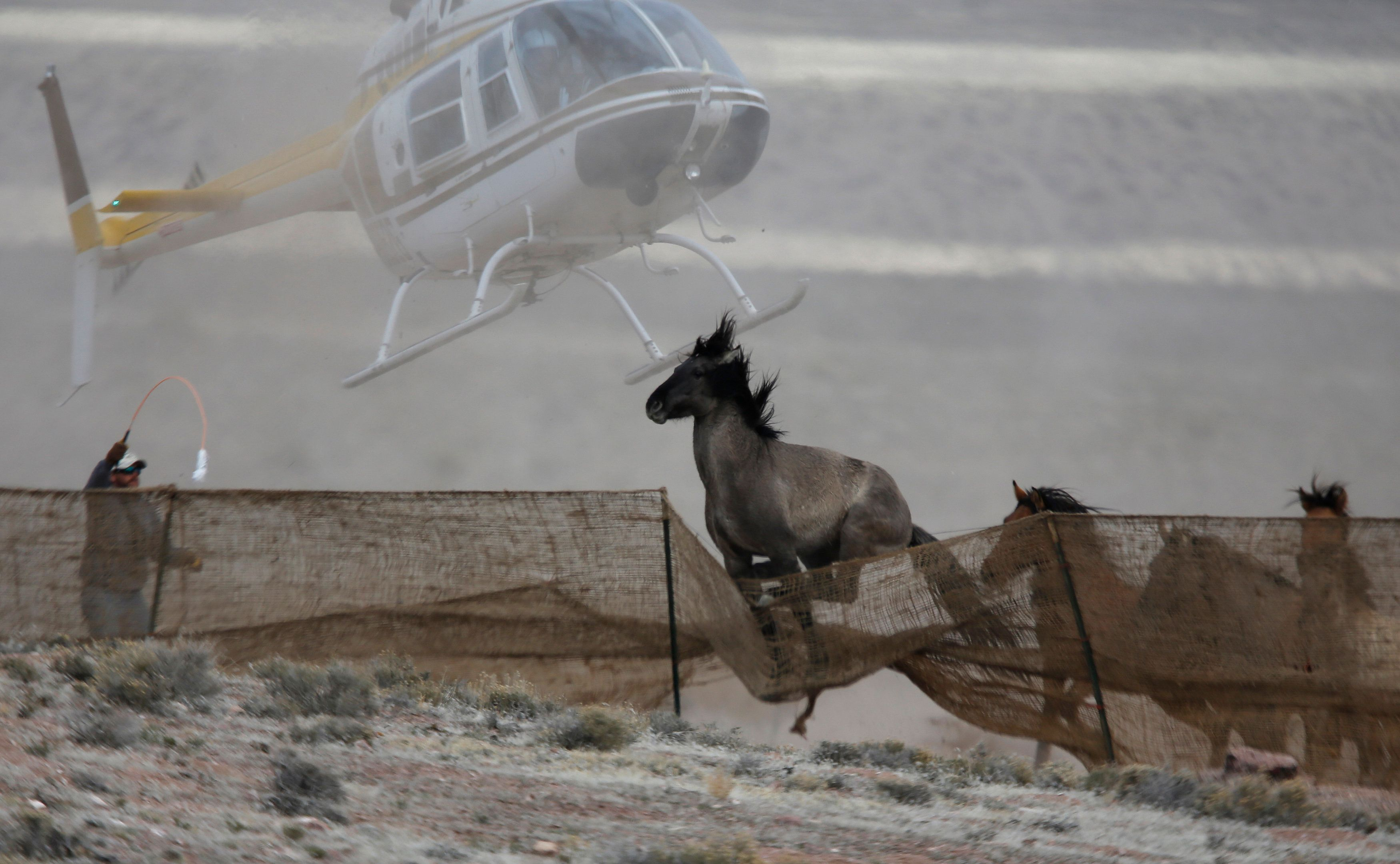 Wild horses escape as the Bureau of Land Management uses a helicopter to drive the herd into a trap last year.