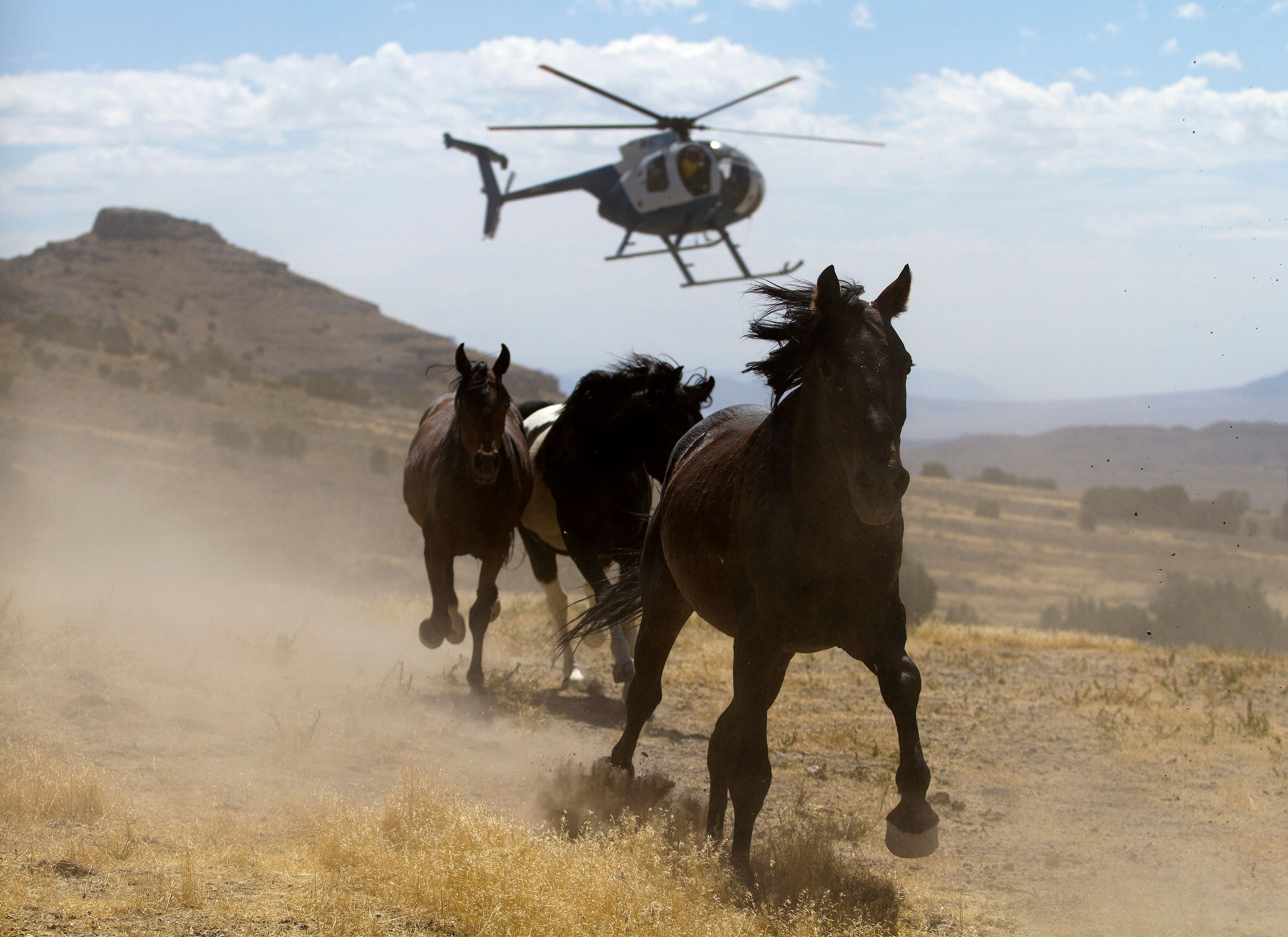 Horses run from a BLM helicopter in 2010.