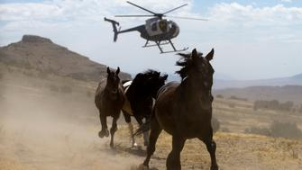 A helicopter is used by the Bureau of Land Management (BLM) to gather wild horses in the Conger Mountains near Border in Utah September 7, 2010. The BLM plans to round-up approximately 480 wild horses for placement in the BLM's adoption program or long-term pastures. REUTERS/Jim Urquhart (UNITED STATES - Tags: SOCIETY ANIMALS)
