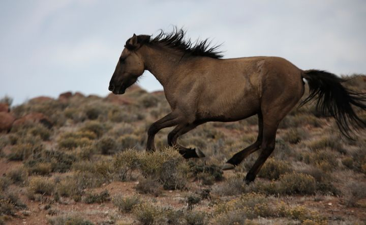 A wild horse escapes a BLM trap in 2015.