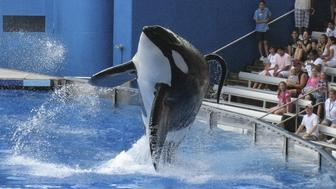 "Tillikum, a killer whale at SeaWorld amusement park, performs during the show ""Believe"" in Orlando, in this September 3, 2009 file photo. Tillikum, who last year drowned a trainer at SeaWorld, performed publicly on March 30, 2011 for the first time since the death. REUTERS/Mathieu Belanger/Files (UNITED STATES - Tags: ANIMALS)"