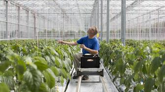 A worker adjusts a strand of staking twine as paprika plants grow inside a greenhouse operated by Seminis and De Ruite, the vegetable seeds divisions of Monsanto Co., in Bergschenhoek, Netherlands, on Thursday, July 7, 2016. Monsanto's disappointing earnings report could help Bayer AG with its proposed $53.7 billion takeover of the world's largest seed company. Photographer: Jasper Juinen/Bloomberg via Getty Images