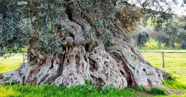 Centuries-old olive trees in Puglia, South Italy