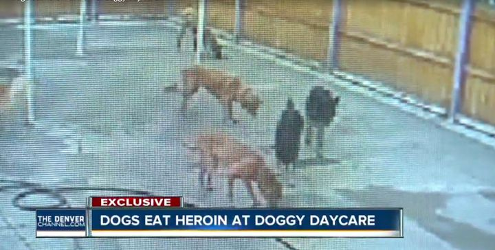 Two dogs required medical attention after a suspected drug dealer tossed bags of heroin into their play areaon Tuesday.