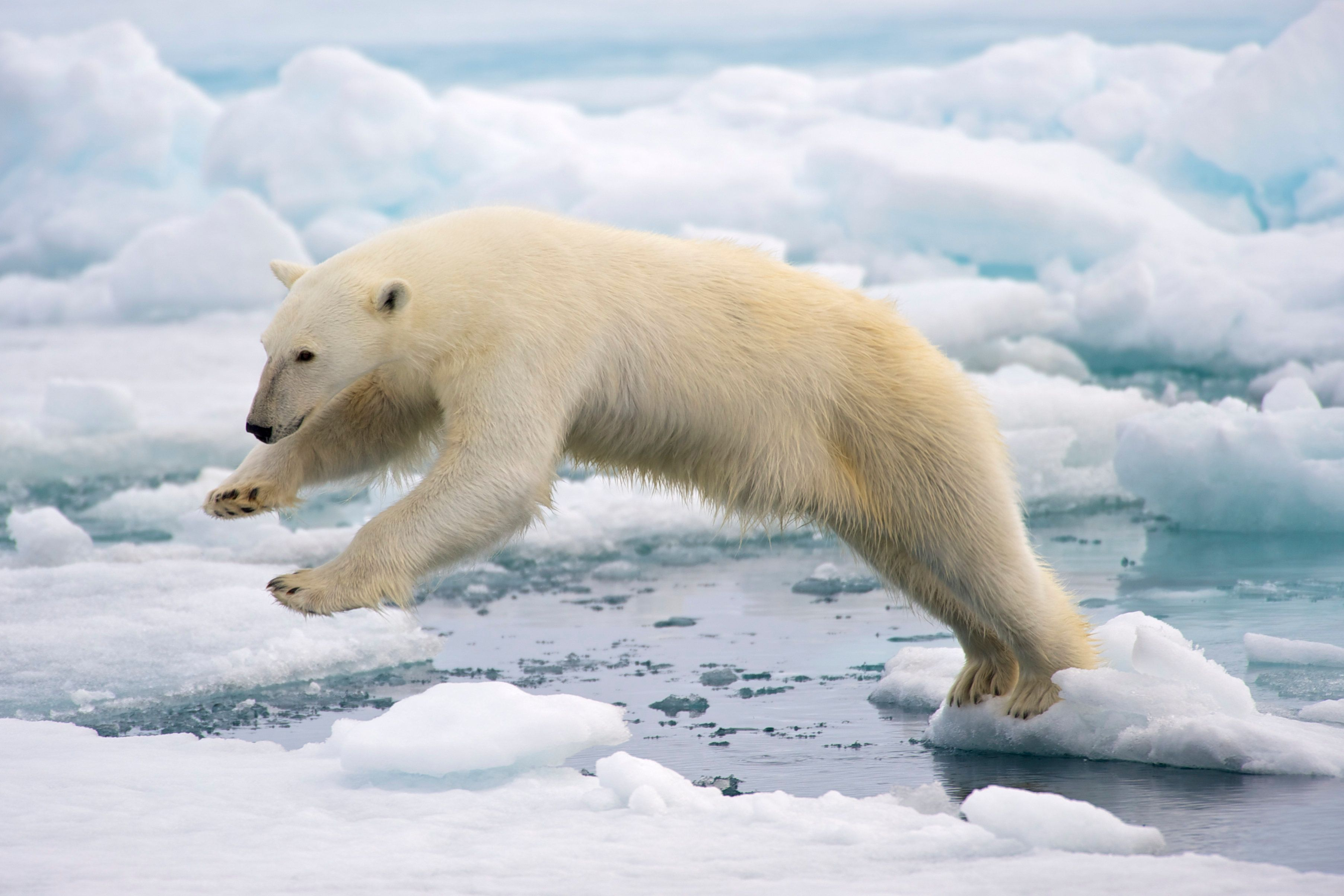 A male polar bear (Ursus maritimus) jumping in the pack ice, its movement frozen in the middle of the jump. Spitsbergen, Svalbard archipelago, Norway.