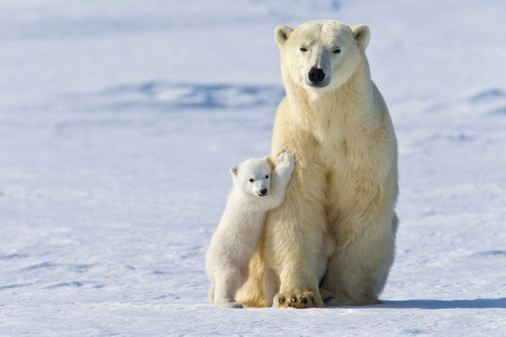 A mother polar bear and cub at Wapusk National Park in Manitoba, Canada.