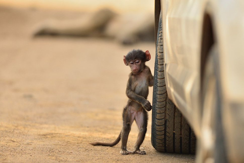 """Highly commended in the adult competition. """"Baby Baboon."""""""
