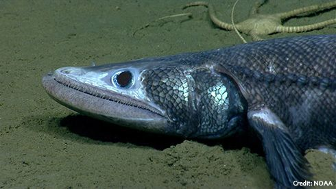 Deep-sea lizardfish inhabit areas of the monument. They use their lower jaw to scoop in sand in their search for food.