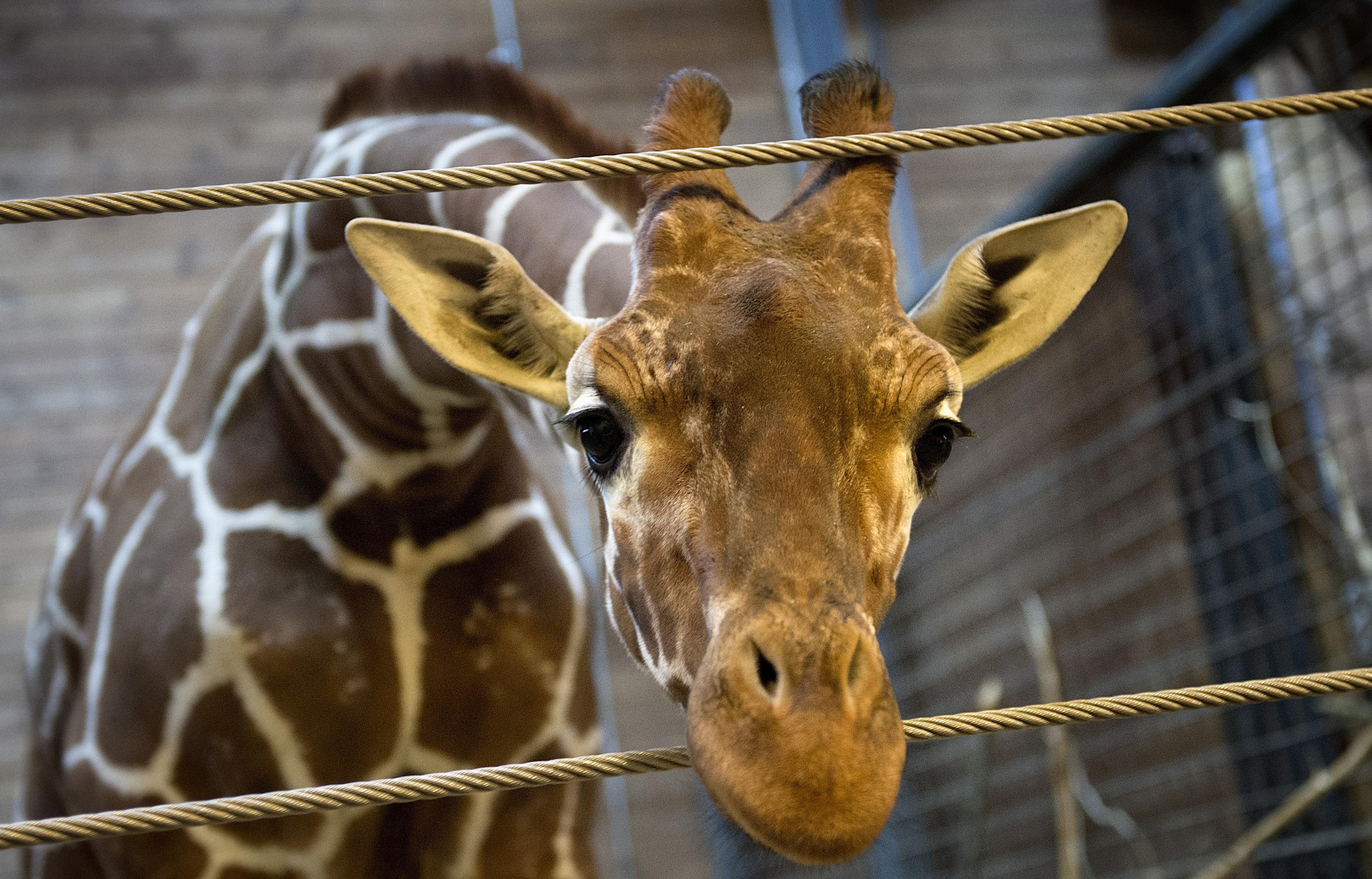 Giraffe-Killing Zoo Gets New Baby