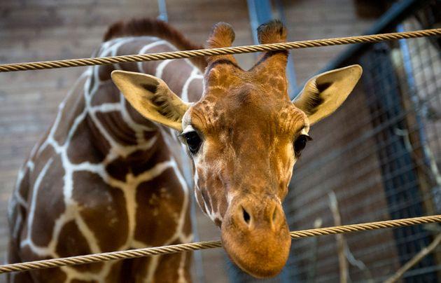 Marius the giraffe, pictured in February