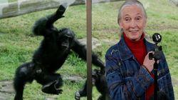 Trump's Behavior Similar To Male Chimpanzee, Says Jane
