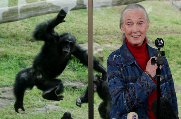 A Chimpanzee jumps at a glass screen as primatologist Dr. Jane Goodall holds a press conference at Taronga...