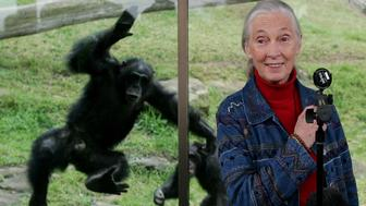SYDNEY, NSW - JULY 14:  A Chimpanzee jumps at a glass screen as primatologist Dr. Jane Goodall holds a press conference at Taronga Zoo July 14, 2006 in Sydney, Australia.  Dr Goodall visited the zoo to raise awareness of the plight of wild Chimpanzees. The zoo's colony of Chimps includes several family groups, and three of the oldest Chimpanzees in zoos.   (Photo by Ian Waldie/Getty Images)