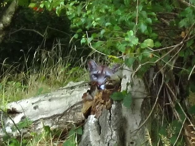 Crouching rambler, peeking puma: Lee Clifford came face-to-face with this beast in the Yorkshire