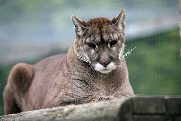 A file picture of a puma for comparison at Shepreth Wildlife Park in