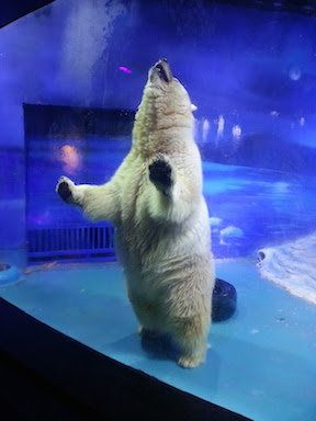 Pizza the polar bear leans on the glass inside his home in a mall in
