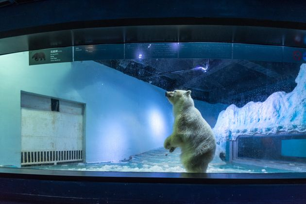 Pizza is the only live polar bear in south China's
