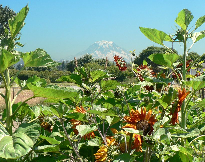 The view of iconic Mt. Rainier from just outside Sumner
