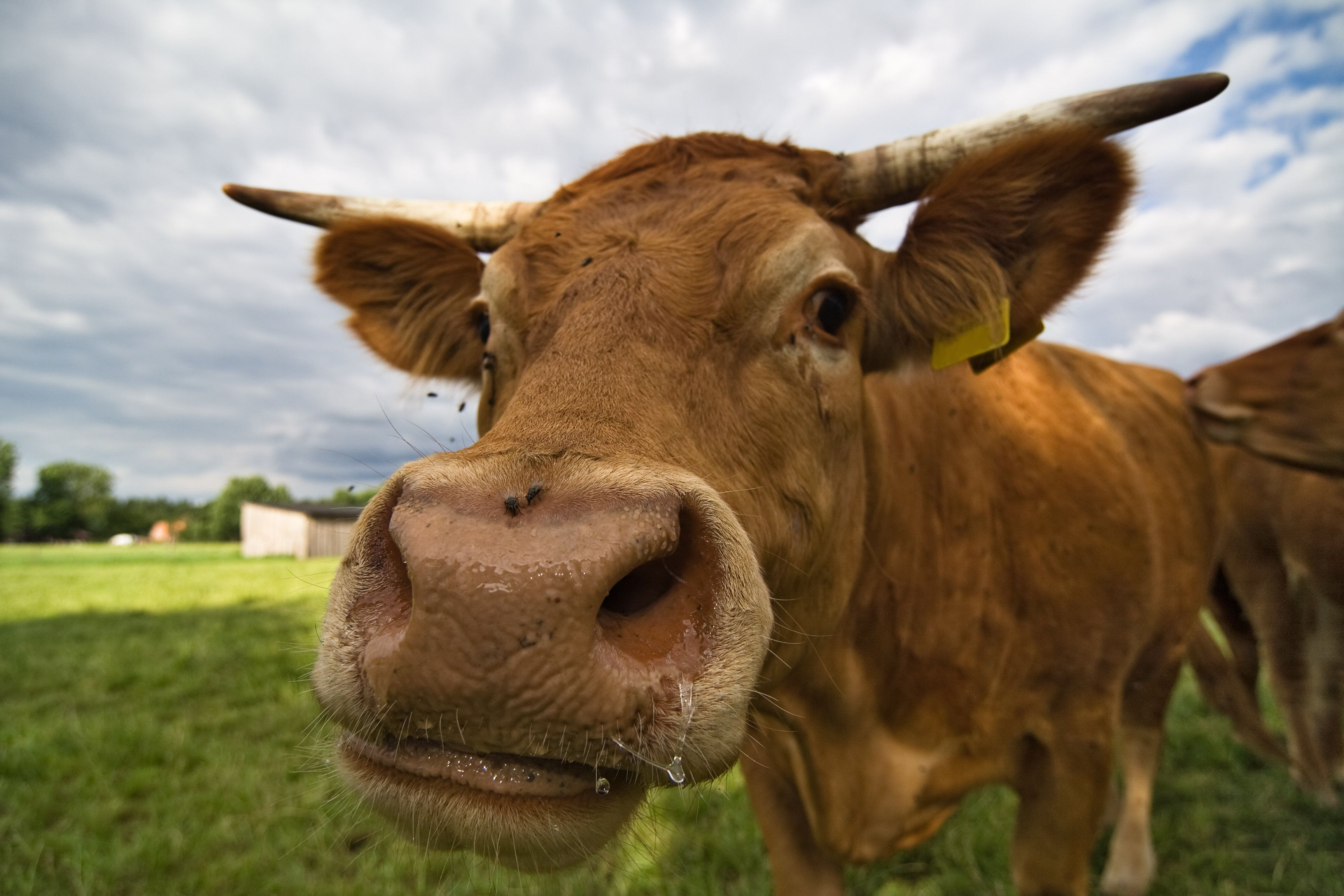 Badass Cow Takes Down Helicopter And Walks Off Like A