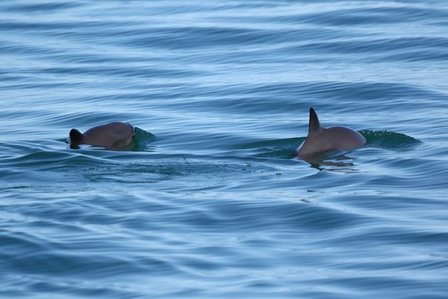 Only about 60 vaquita are believed to exist in the