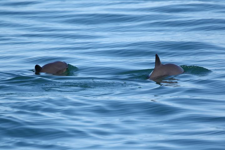 Only about 60 vaquita are believed to exist in the world.