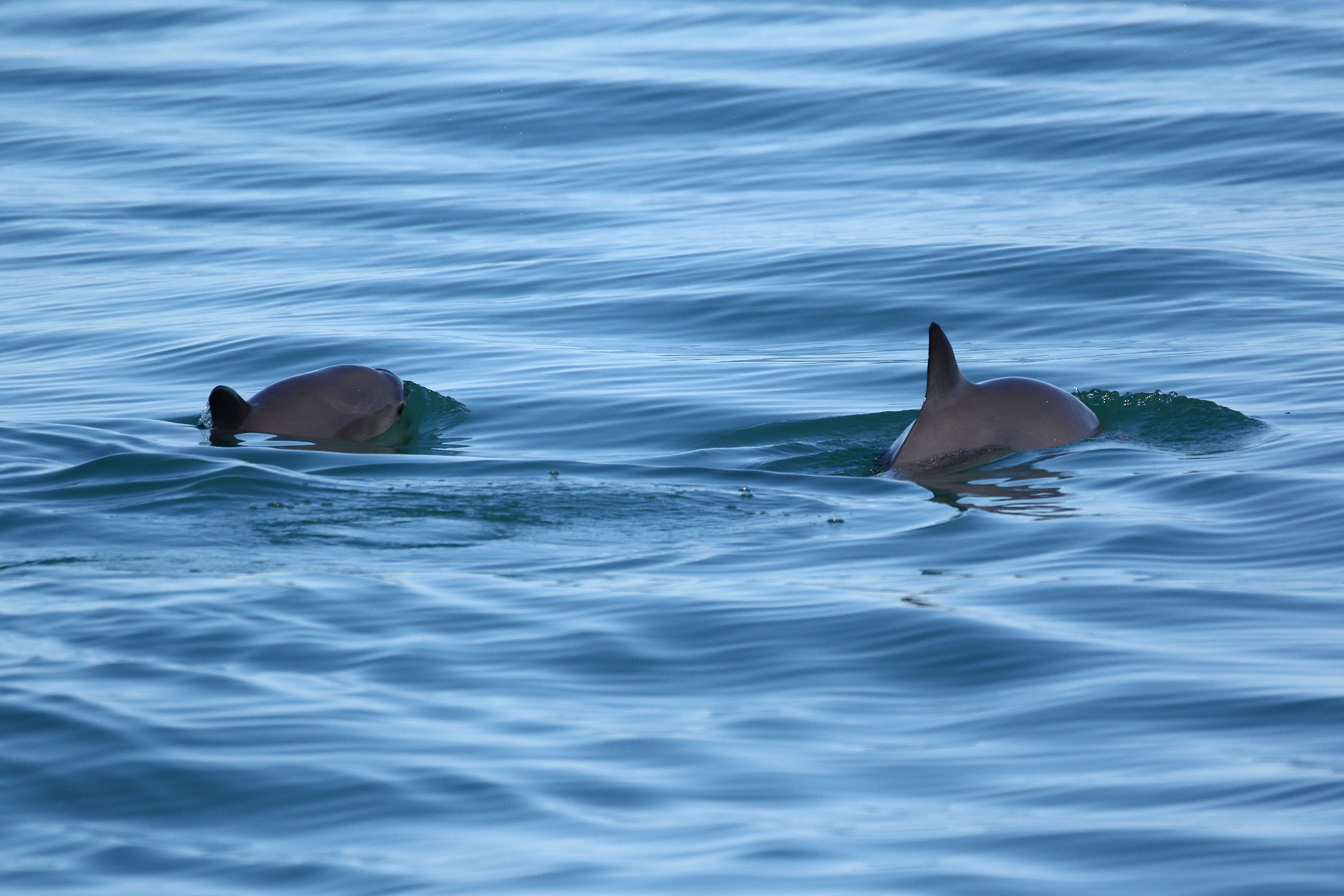 Only about 60 vaquita are believed to exist in the world.<i></i>