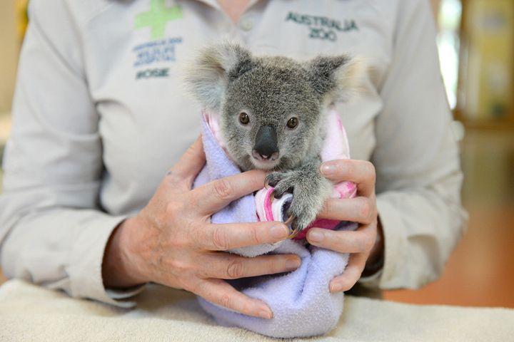 The Australia Zoo Wildlife Hospital provides around-the-clock care forkoalaslike Shayne.
