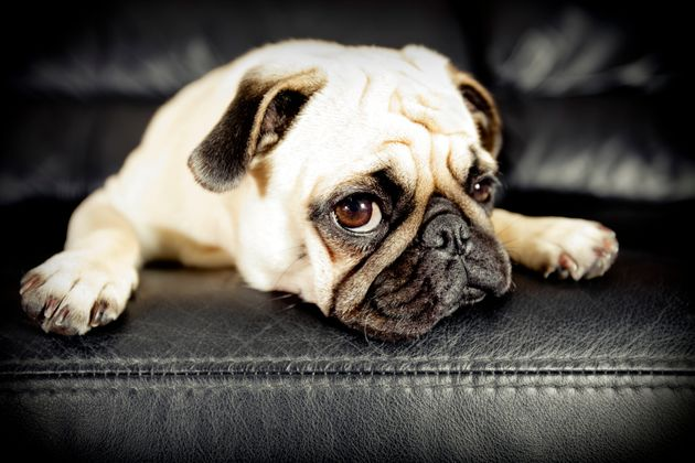 Dog owners are being encouraged not to buy 'flat-faced' breeds like