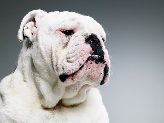 Selective breeding has led to 'unnatural' looks in pugs and bull dogs